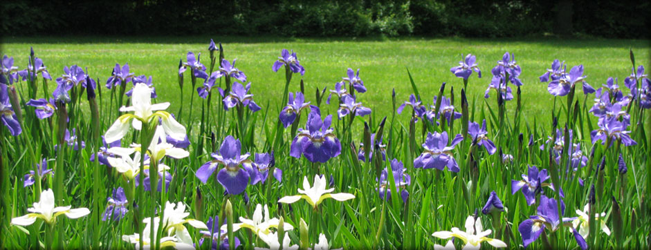 Field of irises at our Granby Bed and Breakfast between Hartford CT and Springfield MA
